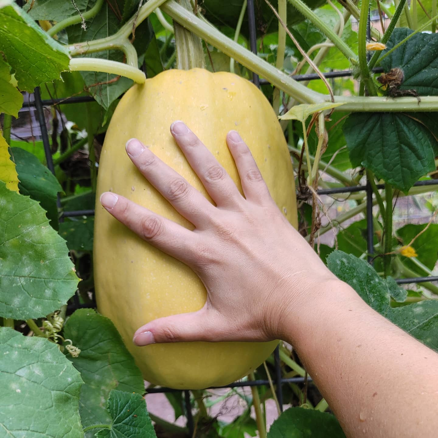 I think it is almost time to harvest my giant #spagettisquash! It has turned golden yellow and my fingernail does not easily penetrate the skin. I am now just waiting for the stem to turn a little brown. If I harvest too early it won't noodle well and that would be a major