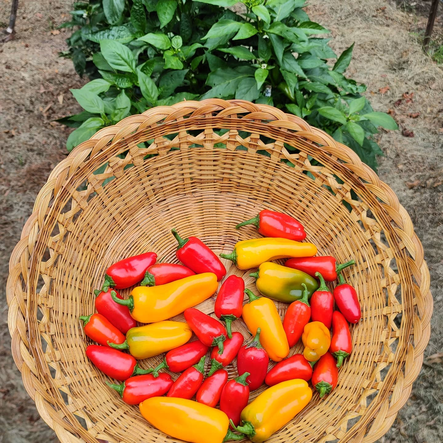 Lunchbox peppers are my favorite for snacking. Very sweet, very few seeds and patient! I had yellow last year but found red and orange this year. Feels like $5 per pint? I just eat them but I like to feel like it is a good value.