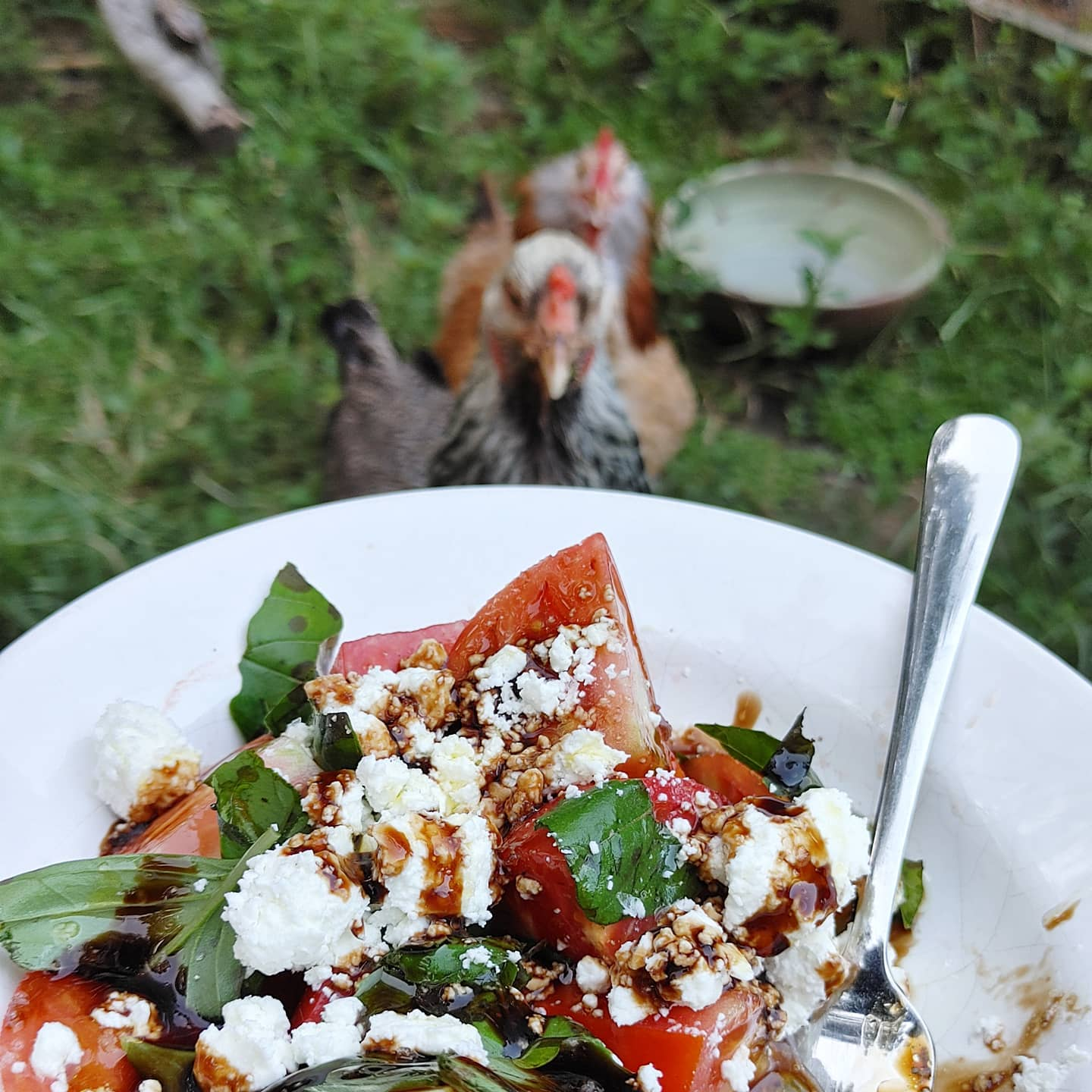 Once again, trying to eat dinner while watching the chickens. Instead, being watched by the chickens while eating dinner! Tomatoes by me, basil by @shadygrovefarmstead and happy goat cheese by @cattywampus.acres47. Eat local folks! Farmers market Tuesdays at 6:30 at @slowpourbrewing in downtown Lawrenceville, GA.  #