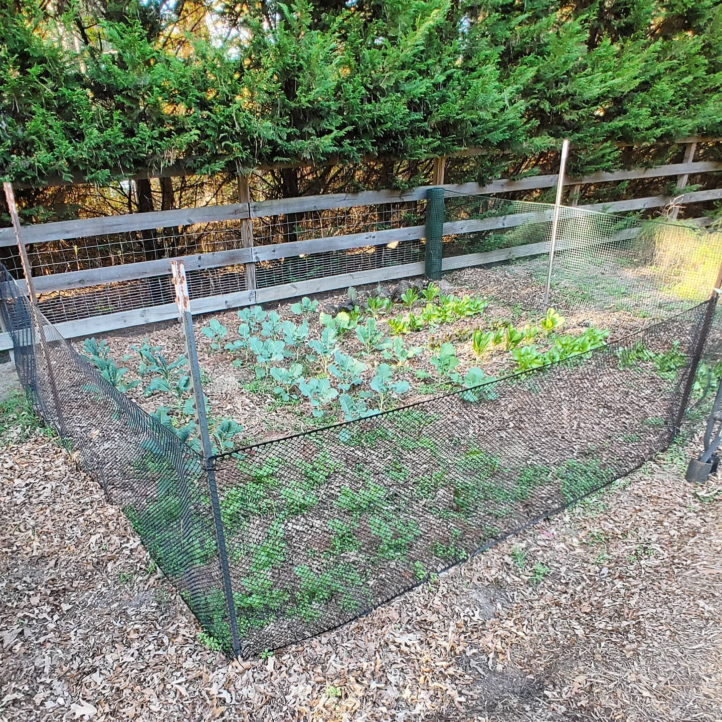 My winter garden looks like a lettuce playpen. I learned the hard way that I must fence in these babies or every hungry critter in the neighborhood will stop by. Broccoli, collards, kale, cabbage, lettuce and celery should keep the chickens and me in greens until spring. The fence stops deer, chickens,  most bunnies and zero squirrels. I would say it is about 10' x 20'.
