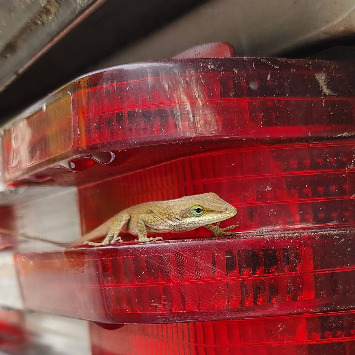 My car brings all the lizards from the yard! I don't know why this is happening, but there are at least three anoles on this car at all times lately! So weird! Obviously we are not driving it while it is a lizard habitat. Priorities!